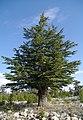 Cedrus libani - Lebanon cedar 05.jpg