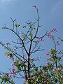 Ceiba speciosa (9670094379).jpg