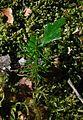 Celery Top Pine.jpg
