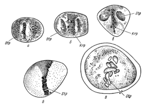 Cell division according to E. Russov (1872).png
