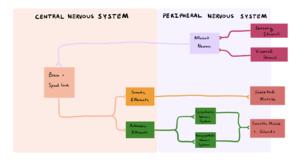 Central Nervous System - Peripheral Nervous System