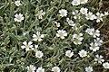Cerastium tomentosum in Jardin Botanique de l'Aubrac 07.jpg