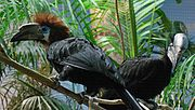 Ceratogymna atrata -Cincinnati Zoo -pair-8a.jpg