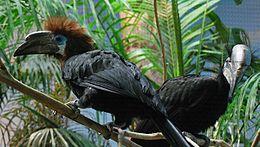 Ceratogymna atrata -Cincinnati Zoo -pair-8a