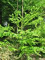 Cercidiphyllum japonicum 02 by Line1.jpg