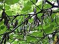 Cercis canadensis 16zz.jpg