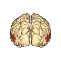 Cerebrum - superior temporal gyrus - posterior.png