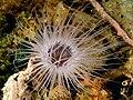 Cerianthidae (Tube-dwelling anemone).jpg