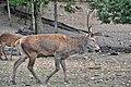 Cervo nobile (Cervus elaphus) - Red deer , Gerenzano, Italia, 09.2018 (5).jpg