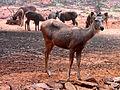 Cervus unicolor (Sambar deer) at IGZoo Visakhapatnam 06.JPG
