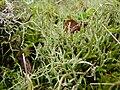 Cetraria islandica 2.4 R.jpg