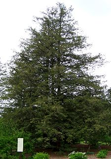 <i>Chamaecyparis pisifera</i> species of plant
