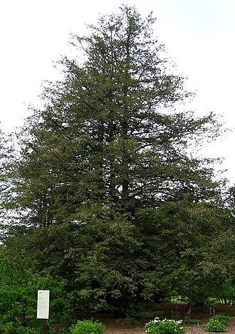 Chamaecyparis pisifera - Image: Chamaecyparis pisifera