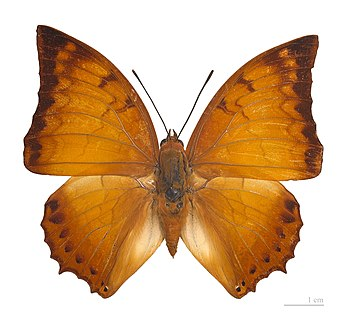 ♂ - Dorsal side :: Locality: Cameron Highlands...
