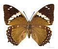 Charaxes numenes MHNT femelle dos.jpg