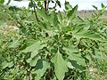 Chenopodium album - lambsquarters - Flickr - Matt Lavin.jpg