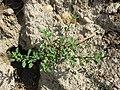 Chenopodium glaucum sl34.jpg