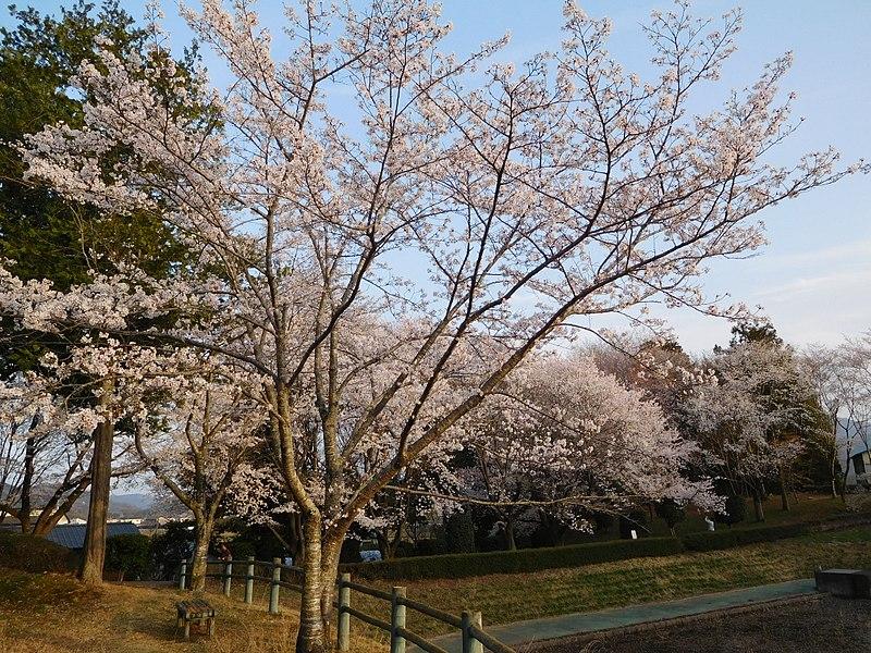 File:Cherry Blossoms of Sakuragawa, Someiyoshino.jpg