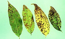 Cherry Leaf Spot 2.jpg
