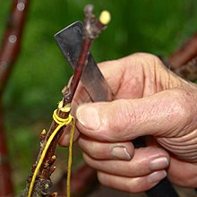 Cherry tree grafting 3.jpg