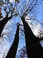 Chestnut tree, Rassler Wood - geograph.org.uk - 605773.jpg