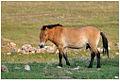 Cheval de Przewalski (Causse Méjean, Lozère) 2.jpg