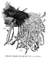 Chicorée Barbe-de-capucin Vilmorin-Andrieux 1904.png