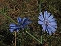 Chicory, Cichorium intybus (16150114804).jpg