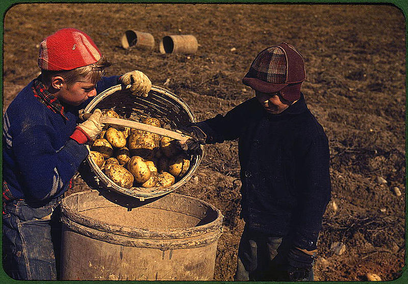 File:Children gathering potatoes on a large farm. Vicinity of Caribou, Aroostook County, Maine, October 1940.jpg