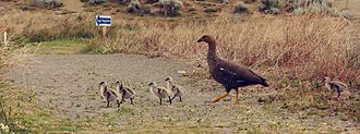 Upland goose - Female Upland goose caring for her offspring, El Calafate, Argentina