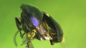 File:Chloropidae - 2015-07-17.webm