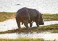 Chobe hippo peeing CF2P5905 (17041968816).jpg