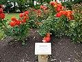 Christchurch rose, Dugald McKenzie Rose Garden.jpg