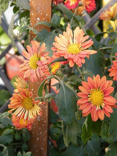 File:Chrysanthemum morifolium 3.JPG