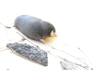Golden mole - Chrysochloris asiatica Cape golden mole adult, showing the digging claw, absence of external eye and a hint of the iridescence of the fur. The rhinarium is not obvious in this photograph