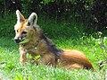Chrysocyon brachyurus - Zoo Frankfurt.jpg