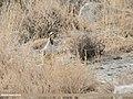 Chukar Partridge (Alectoris chukar) (31273232767).jpg