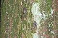 Cicadidae (42241775120).jpg