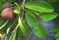 Cicozapote-immature-fruit-leaves.jpg