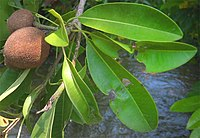 Cicozapote-immature-fruit-leaves