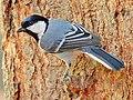 Cinereous tit (Parus cinereus) Photograph by Shantanu Kuveskar.jpg