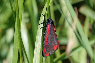 Cinnabar moth - Image: Cinnabar moth (Tyria jacobaeae) 2