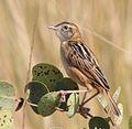 Cisticola dambo, Longa, Birding Weto, a.jpg