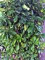 Citrus ichangensis 1zz.jpg