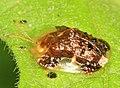 Clavate Tortoise Beetle - Plagiometriona clavata, Prince William Forest Park, Triangle, Virginia (27881147819).jpg