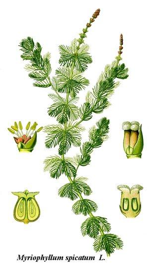 Myriophyllum spicatum - Image: Cleaned Illustration Myriophyllum spicatum