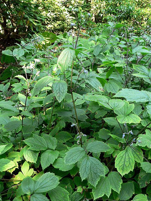 Clematis heracleifolia 1