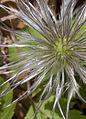 Clematis seed head 2 (3532725089).jpg