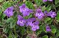Clinopodium alpinum RF.jpg