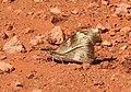Club Beak Libythea myrrha by Dr. Raju Kasambe DSCN4979 (2).jpg
